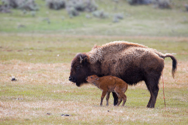 Image Credit: Yellowstone National Park, Flickr