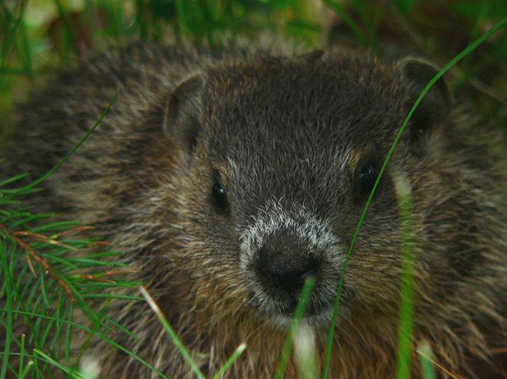 babygroundhog