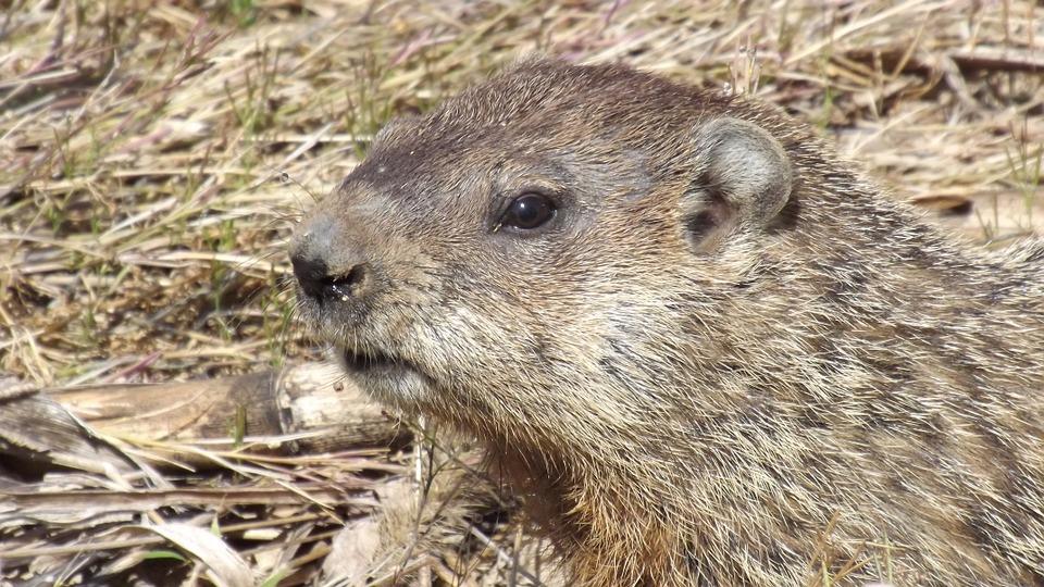 groundhog-546367_960_720