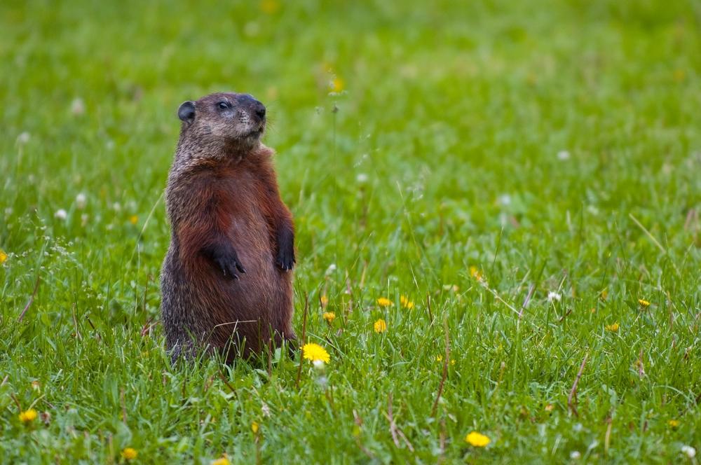 groundhog-standing2