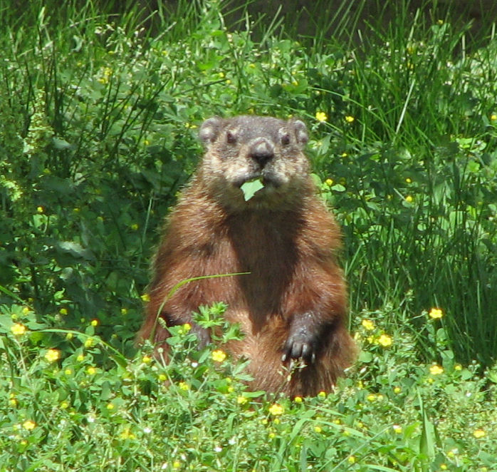 groundhog2c_eating