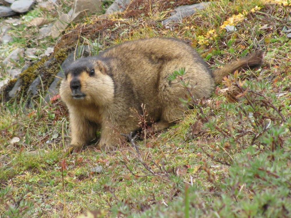 Himalayan_Marmot_at_Tshophu_Lake_Bhutan_091007_b