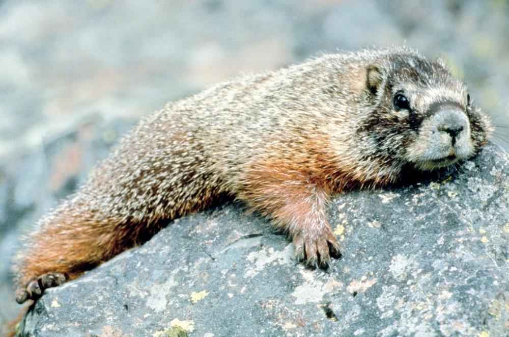 Marmot_in_Grand_Teton_NP-NPS