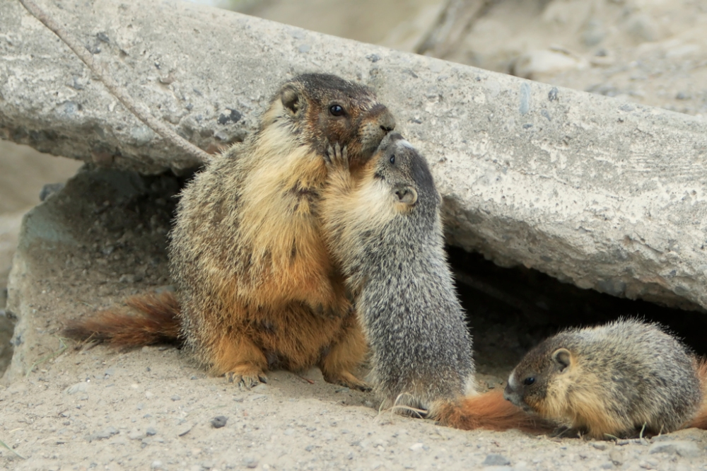 Mother_Yellow-bellied_Marmot_and_pup_kissing