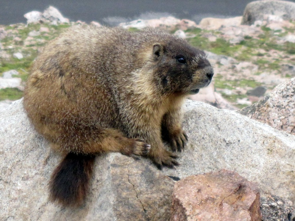 Yellow-bellied_marmot